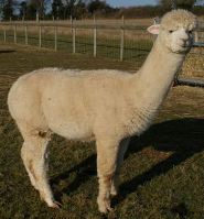 Antipodean Star New Stud Male 2009